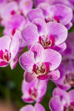 Orchids. Pretty Orchid completely open, very beautiful stock photo
