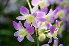 Orchids. Pretty Orchid completely open, very beautiful royalty free stock photography