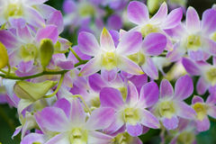 Orchids. Pretty Orchid completely open, very beautiful royalty free stock images