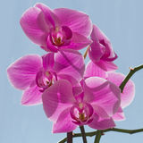 Orchids. The purple orchids beautiful flowers Royalty Free Stock Photo