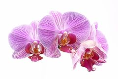 Orchids, purple Phalaenopsis on a white background Royalty Free Stock Image