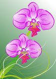 Orchids. Purple/pink orchids with a smooth green and white background Royalty Free Stock Photography