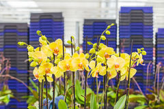 Orchids ready for export in a greenhouse Royalty Free Stock Photography