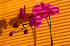 Orchids and shadows Royalty Free Stock Image