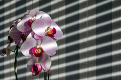 Orchids with shadows from the blinds and striped background. Backlight. Copy space Royalty Free Stock Photography