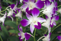 Orchids from Singapore Royalty Free Stock Images