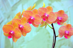 Orchids sonata. A bunch of exotic and vivid orchids with dull abstract background Stock Images