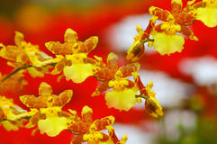 Orchids Sonata. Sonata of dancing yellow girls orchids in the garden Royalty Free Stock Photos