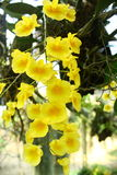 Orchids in the Summer. Orchid in the Orchid Garden Dendrobium densiflorum royalty free stock photo