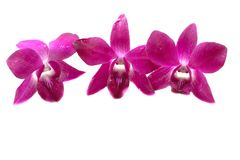Orchids. Thai orchids isolated on white background Royalty Free Stock Photography