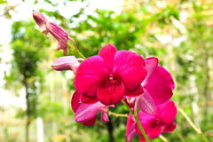 Orchids in Thailand Stock Photo