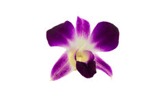 Orchids in Thailand Royalty Free Stock Photo