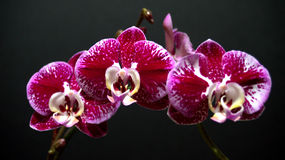 Orchids. Three Phalaenopsis orchid blooms with a dark background Stock Photography