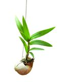 Orchids tree isolated Royalty Free Stock Photography