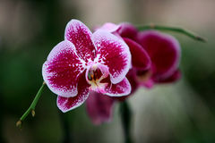 Orchids of Utopia Park. Stock Image