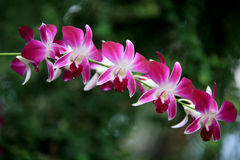 Orchids of Utopia Park. Stock Photo