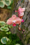 Orchids, Vanda ,flowers, nature Royalty Free Stock Photography