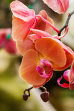 Orchids, Vanda ,flowers, nature Stock Image