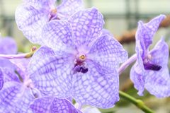 Orchids(Vanda) Royalty Free Stock Images