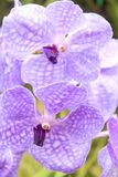 Orchids(Vanda) Royalty Free Stock Photography
