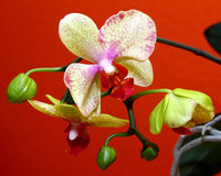 Orchids from Venezuela. Beautiful orchids from South America Stock Photography