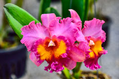 Orchids. Violet orchid on gardens, background stock photos