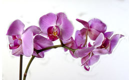 Orchids on white Royalty Free Stock Image