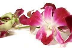 Orchids on white stock photo