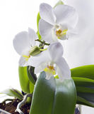 Orchids. On the white background Royalty Free Stock Photos
