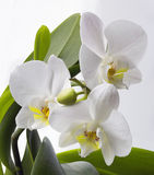 Orchids. On the white background Royalty Free Stock Photography