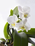 Orchids. On the white background Stock Images