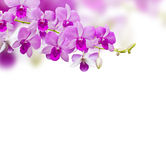 Orchids on white background Stock Image