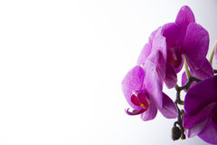 Orchids on white background Stock Photo