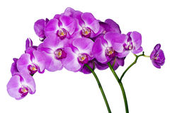 Orchids on white background (Orchidaceae) Royalty Free Stock Image