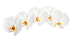 Orchids. White orchids isolated on a white background Stock Images