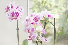 Orchids on the window. Beautiful home bouquet of Thailand Orchid in the interior. Vibrant tropical purple and white orchid flower, Royalty Free Stock Photo