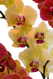 Orchids in Yellow and vibrant pink. Magnificent Phalaenopsis Orchids at full bloom Stock Photography