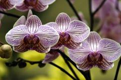 orchidspink Arkivfoton