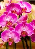 orchidspink Royaltyfria Bilder