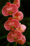 orchidspink arkivbild