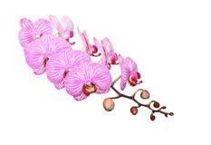 orchidvärldsstjärna Royaltyfri Foto