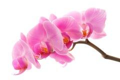 orchidviolet Royaltyfri Fotografi