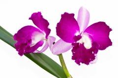 orchidviolet Royaltyfria Foton