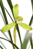 orchidwang zi Royaltyfri Foto