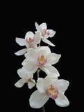 orchidwhite royaltyfria bilder