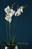 orchidwhite Royaltyfria Foton
