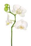 orchidwhite Royaltyfri Foto