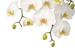orchidwhite Arkivbild