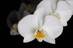 orchidwhite Royaltyfri Fotografi