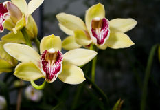 orchidyellow royaltyfri foto
